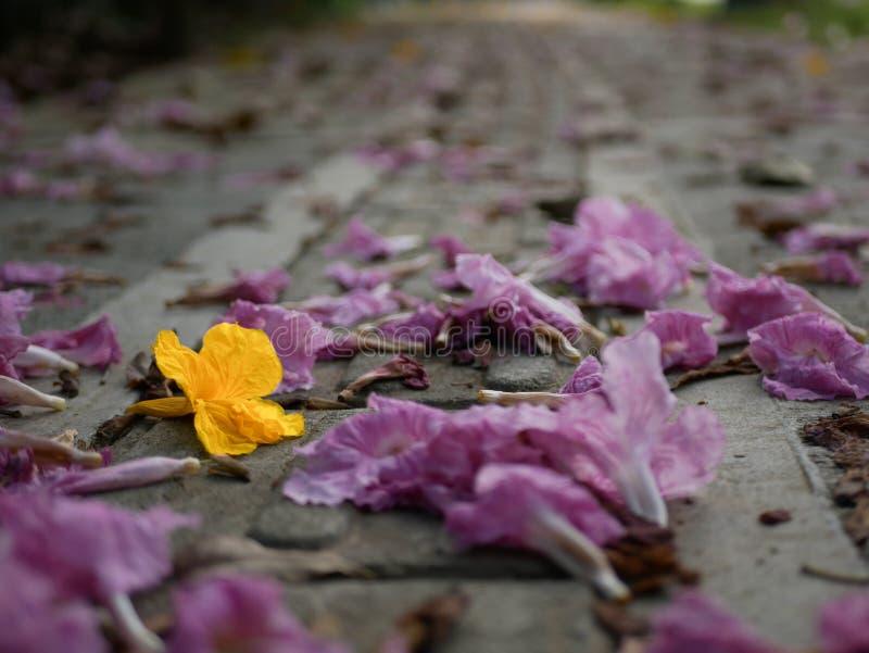 En gul blomma mellan rosa färger en som är stupade på en konkret bana i ett perspektiv arkivbild