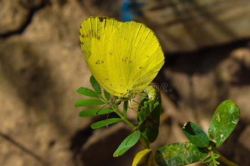En gul färgfjäril som sitter på gröna sidor arkivfoton