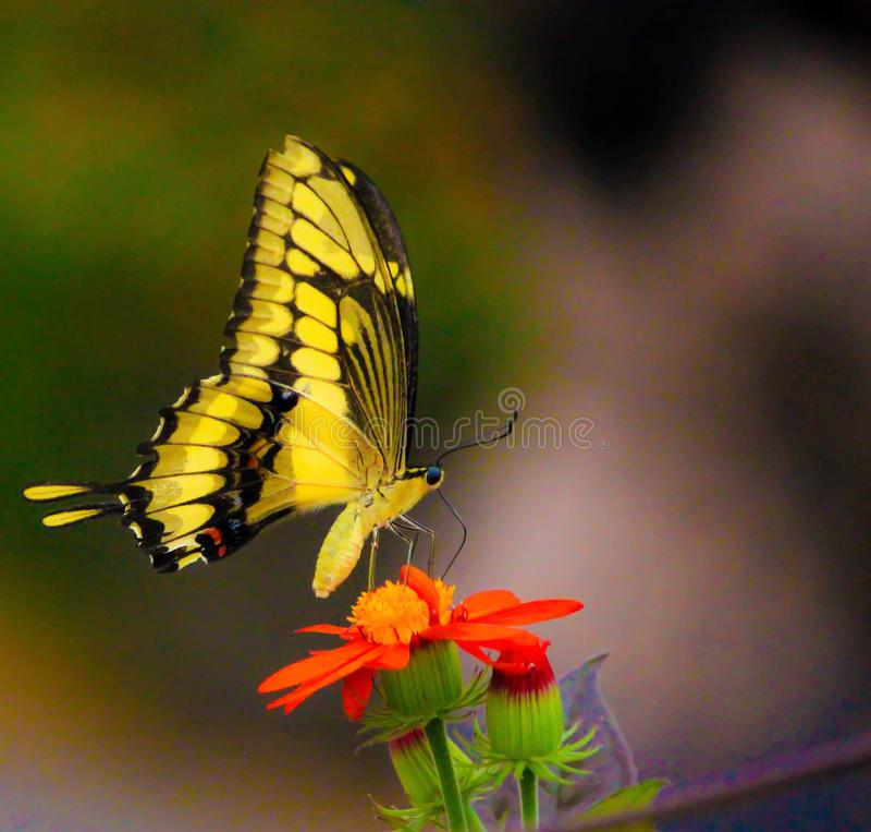 En gul fjäril på en röd blomma fotografering för bildbyråer