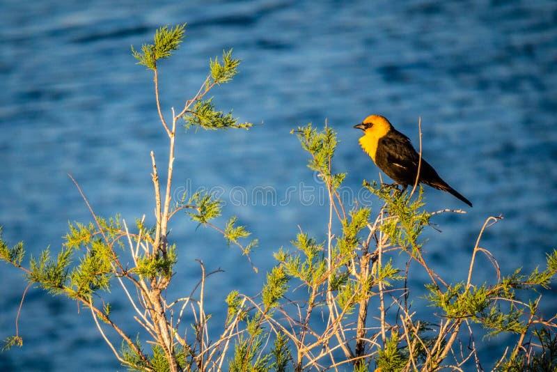 En gul hövdad koltrast i Yuma, Arizona royaltyfria foton