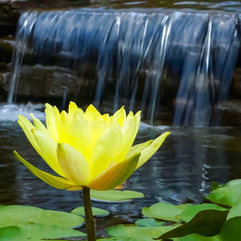 En gul Lotus blomma framme av en vattenfall royaltyfri bild