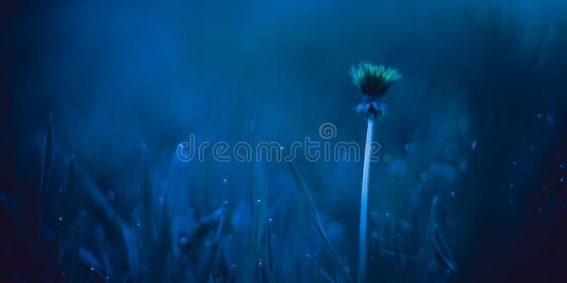 En gul maskros i det blåa fältet för afton bland gräset med vattendroppar royaltyfria foton