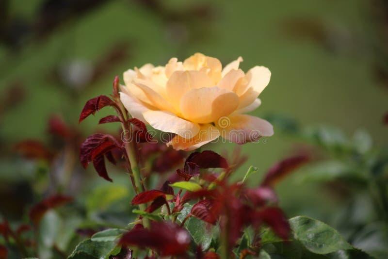 En gul ros på grön blured bakgrund royaltyfri foto