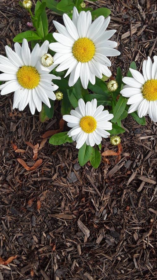En gul tusensköna i våren fotografering för bildbyråer