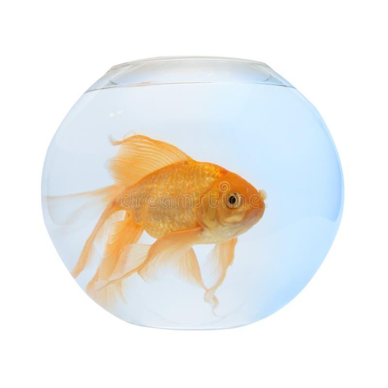 En guld- fisk i akvarium arkivbilder