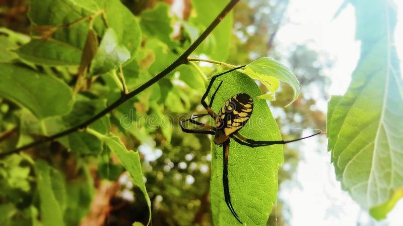 En guld- orb-vävare kvinnligspindel fotografering för bildbyråer