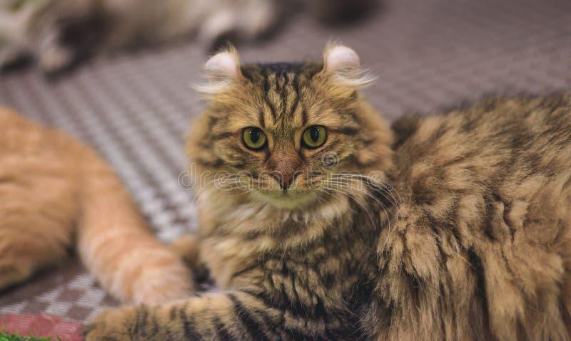 En gullig guling-apelsin katt är att spela som är styggt på ett trägolv arkivfoto