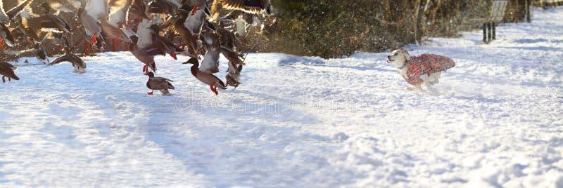 En gullig hund som jagar änder på insnöade Nordamerika arkivfoto