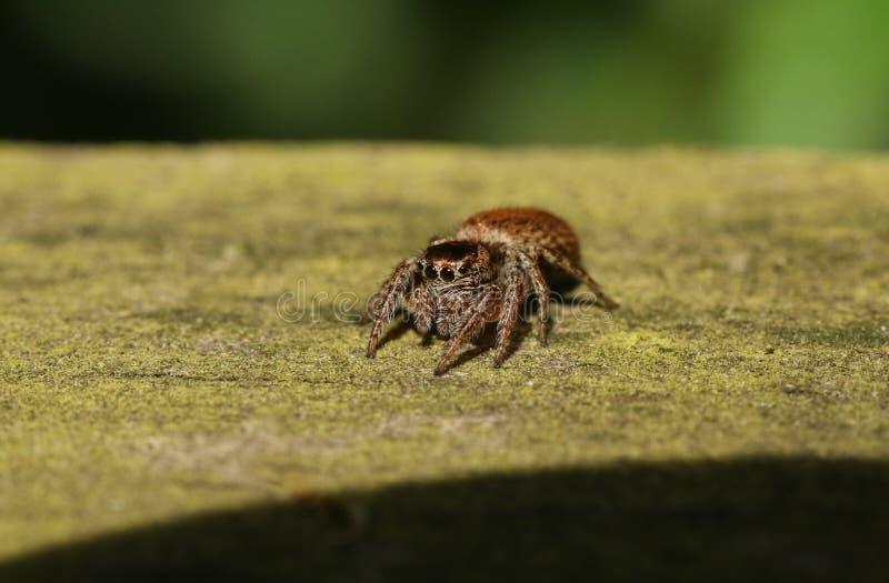 En gullig jakt för banhoppningspindelEvarcha falcata för mat på ett trästaket arkivfoton