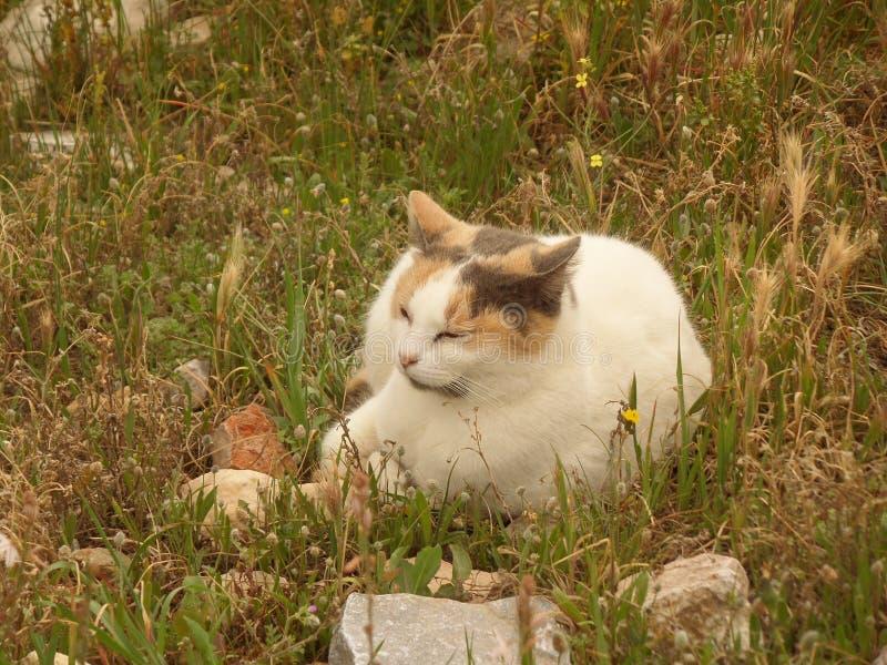 En gullig kalikå Cat Napping på fältet av akropolen, Aten fotografering för bildbyråer