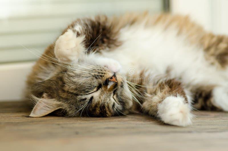 En gullig katt ligger på henne tillbaka och sover Med gula ögon och en tjock mustasch close upp arkivfoto