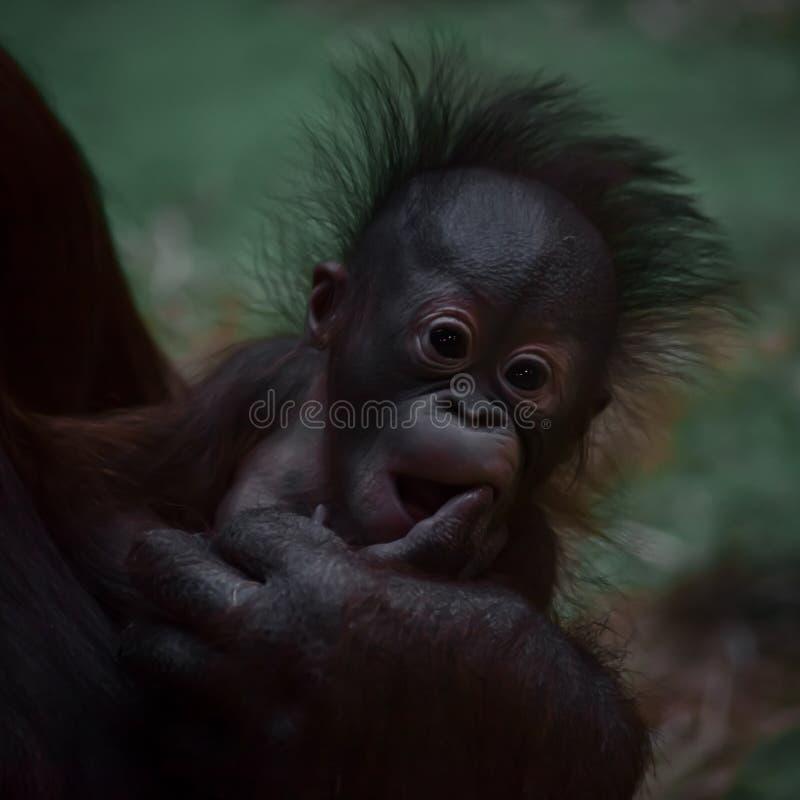 En gullig liten orangutang behandla som ett barn med fluffigt rött hår och blåtiror royaltyfri fotografi