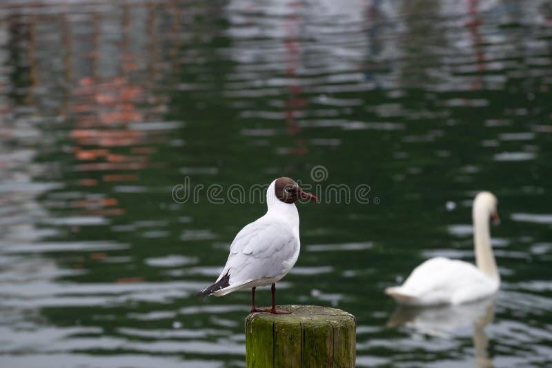 En gullig rolig havsfågel eller ett fiskmåsanseende på en träpol på en sjö med en okunnig svan för suddighet på bakgrunden arkivfoto
