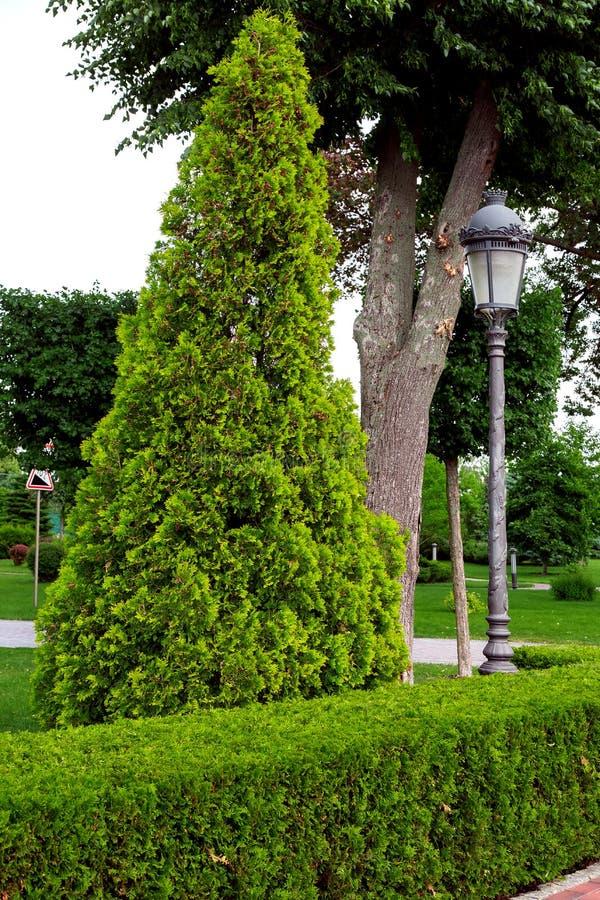 En häck av klippte lövfällande buskar royaltyfria foton