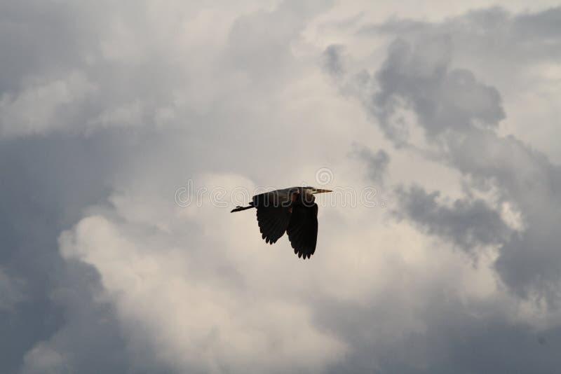 En häger som flyga iväg på en molnig dag royaltyfria foton