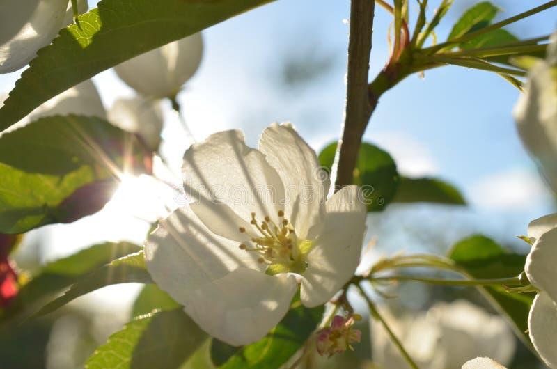 En härlig äppleflowerbud som tycker om solen arkivfoto