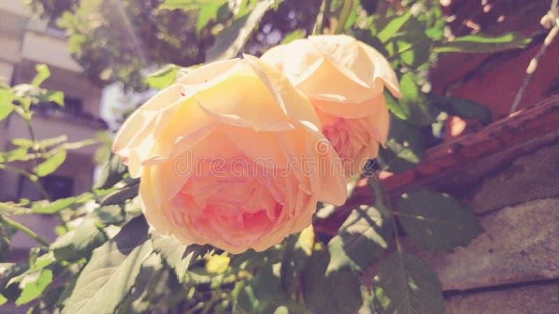 En härlig beige ros royaltyfria bilder