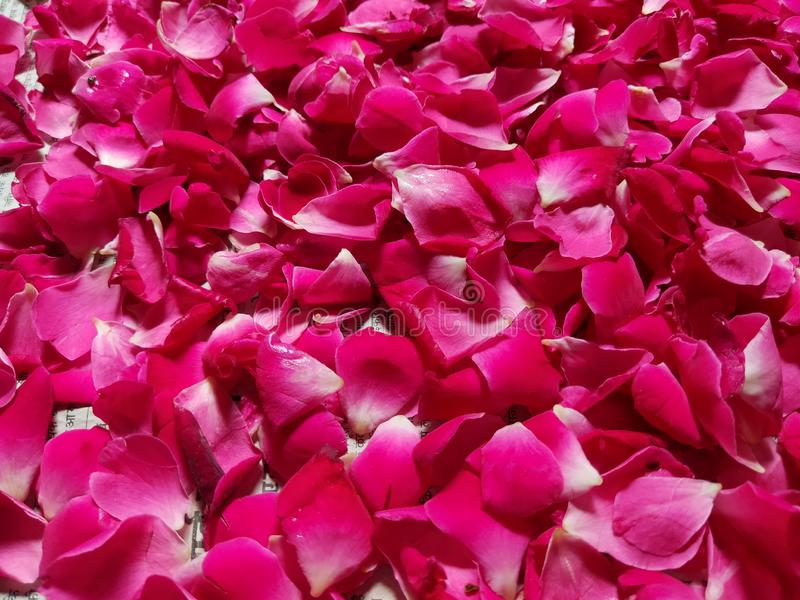 En härlig bild av spridda rubin-röda rosa kronblad ge en bra bakgrundstapet Nature& x27; s-skapelse och gillande arkivfoto