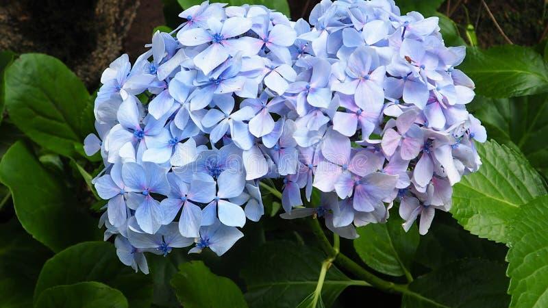 En härlig blå blomma i en gammal trädgård arkivbilder