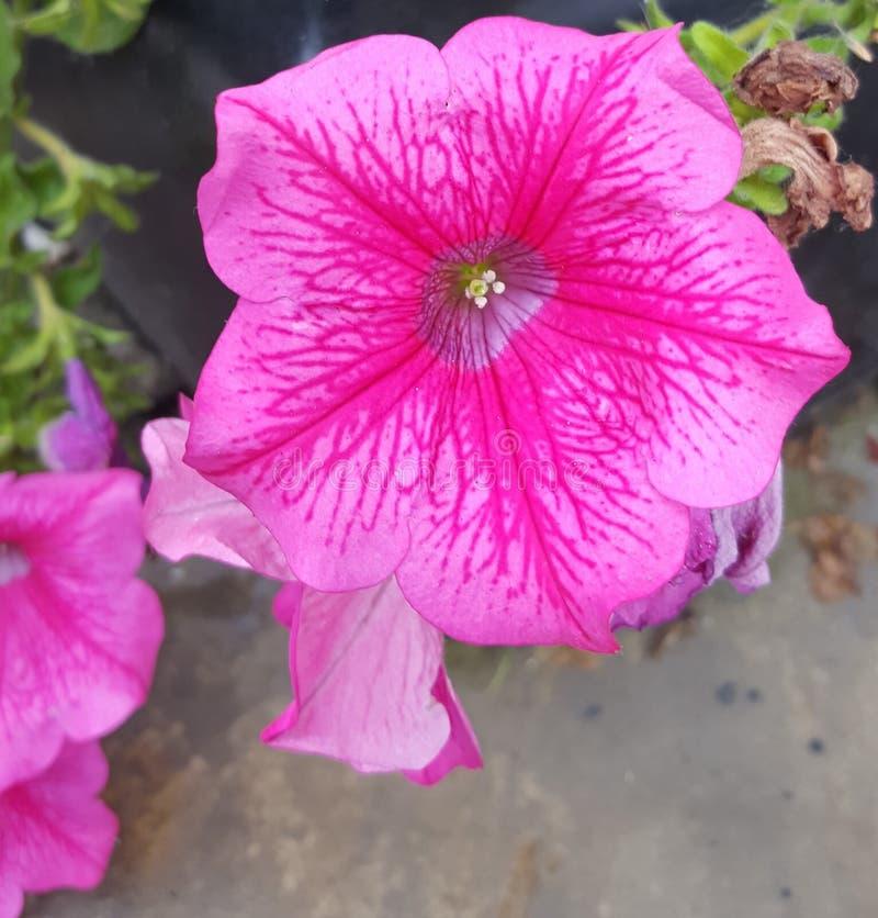 En härlig blomma med rosa kronblad royaltyfria bilder