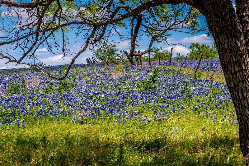 En härlig bred vinkelsikt av en Texas Field Blanketed med den berömda Texas Bluebonnets Under ett träd med ett gammalt staket. royaltyfria foton