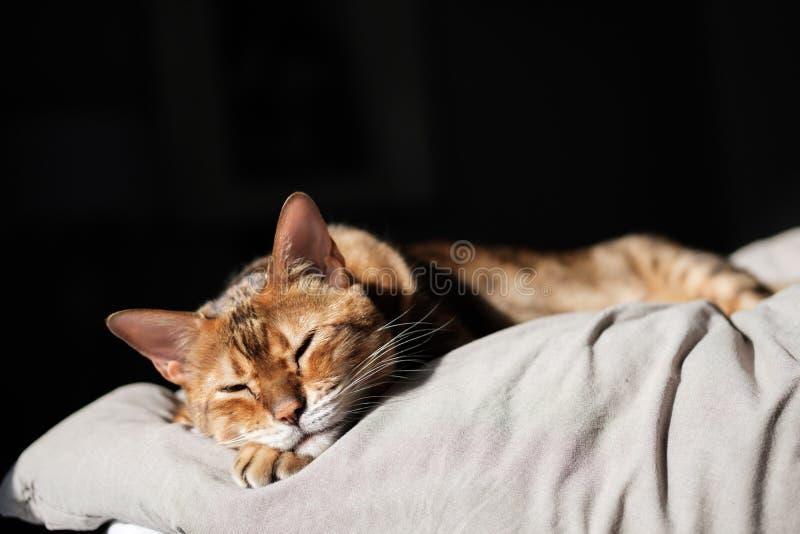 En härlig brun Bengal katt som sover i säng- och morgonsoluppgångsken royaltyfri fotografi