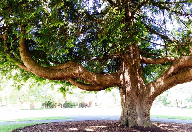 En härlig enorm ek i solljus royaltyfri foto