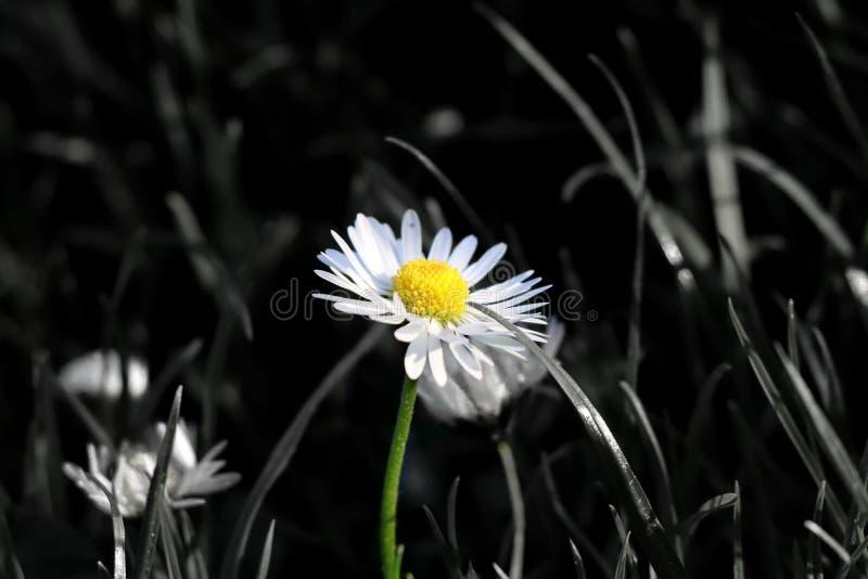 En härlig för färg tusensköna solo i mitt av grässlätten, när blom och stammen är i färg, och vilar av bilden är i svart och royaltyfri bild