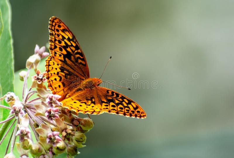 En härlig fjäril med spridningvingar och öppet utrymme arkivfoto