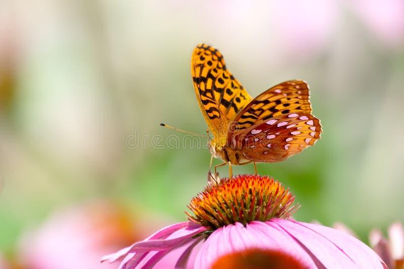 En härlig fjäril med spridningvingar och öppet utrymme fotografering för bildbyråer