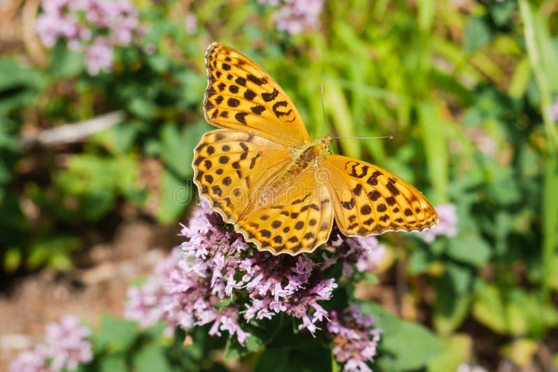 En härlig fjäril på blommor royaltyfri fotografi