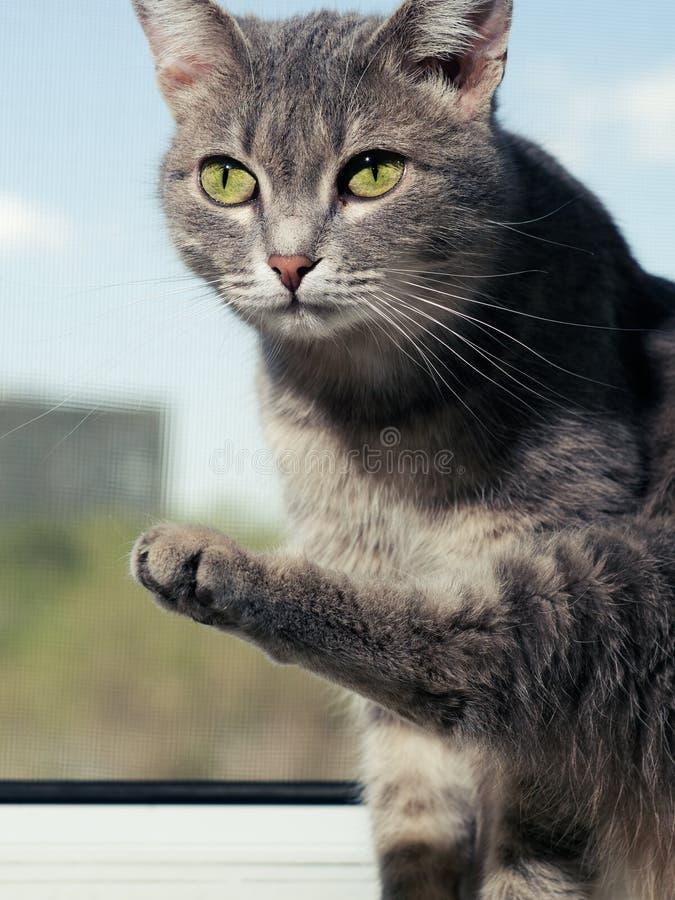 En h?rlig gr? gr?n?gd katt med svartvita band sitter p? f?nsterbr?dan och blickarna in i kameran _ royaltyfria foton