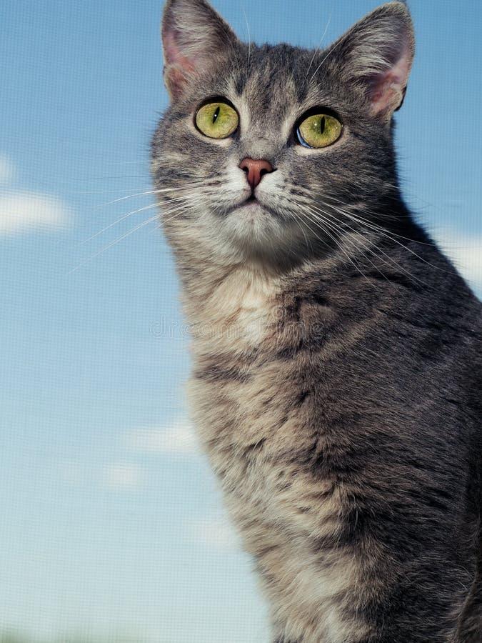 En h?rlig gr? gr?n?gd katt med svartvita band sitter p? f?nsterbr?dan och ser fr?n ovanf?r arkivfoto