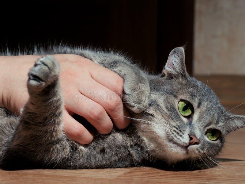 En h?rlig gr? katt med svartvita band som spelar med en man p? golvet N?rbild Katten ?r tr?tt av att spela royaltyfria foton