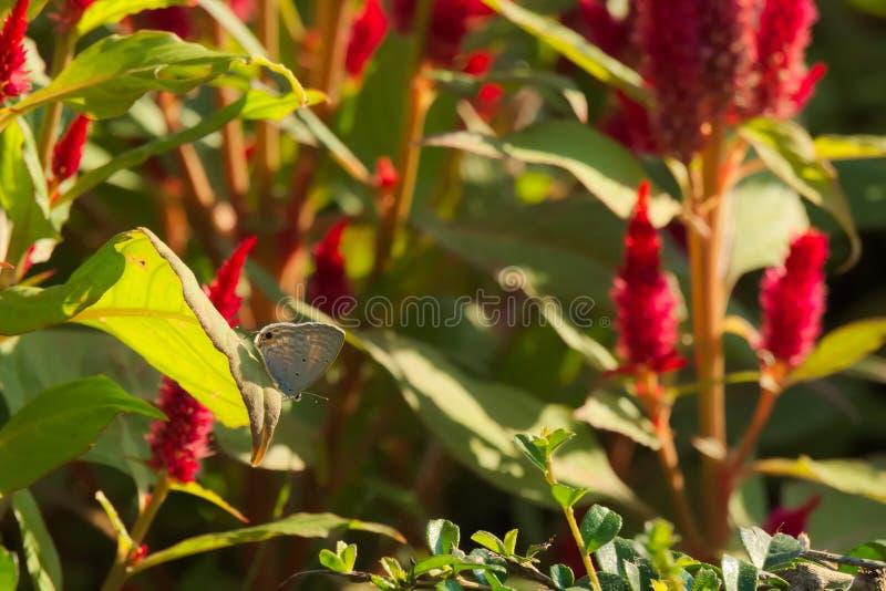 En härlig grå thailändsk fjäril uppe på ett blad som står ut från en röd blomningbakgrund, i en thailändsk trädgård, parkerar royaltyfri foto