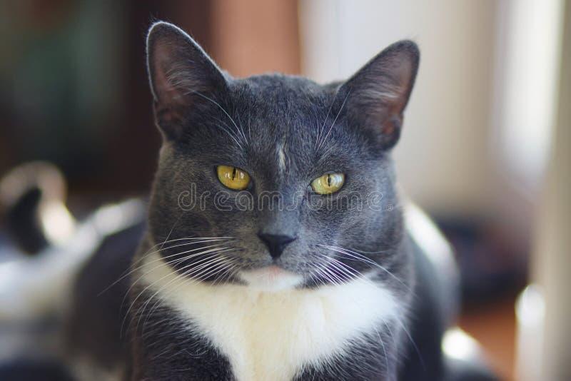 En härlig grå vuxen katt med gula ögon royaltyfri foto