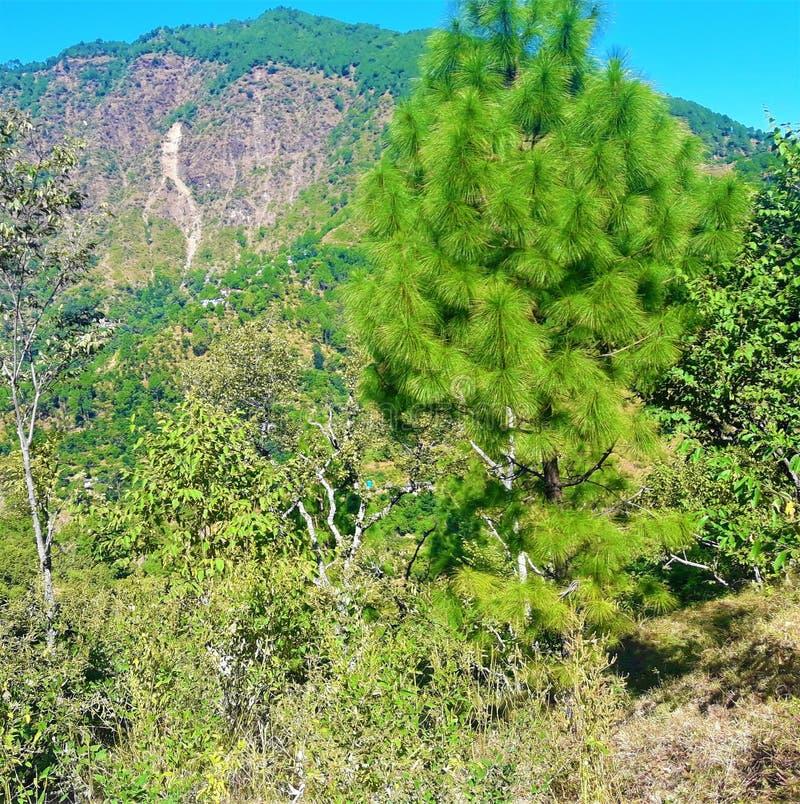 En härlig grön växt som finnas främst i norr indiska berg arkivbild
