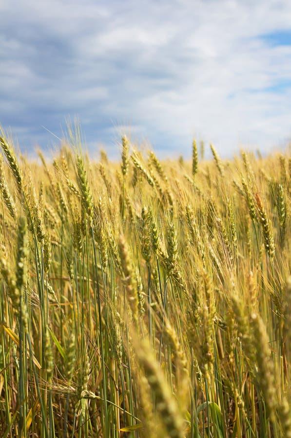 En härlig guling, grönt vetefält, mot en bakgrund av blå himmel arkivbild