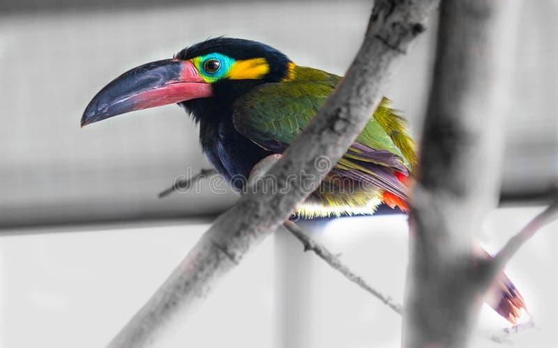 En härlig kastanj-mandibledfågel i sommar arkivfoto