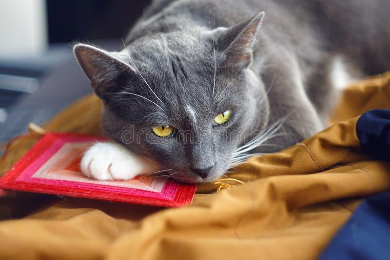 En härlig katt med uttrycksfulla ögon ligger tyst royaltyfria foton