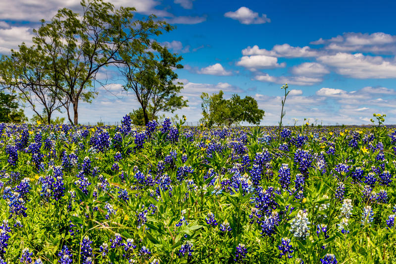 En härlig knaprig sikt av ett fält som filt med de berömda Texas Bluebonnet (Lupinustexensis) vildblommorna arkivbilder