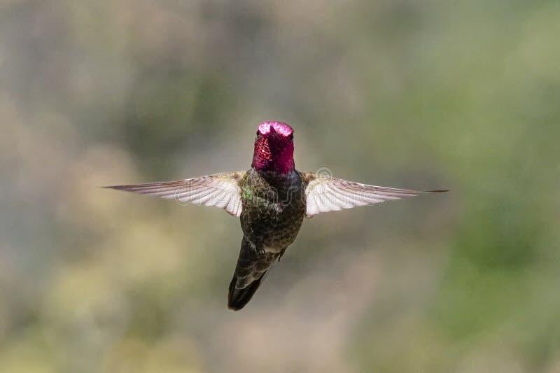 En härlig kolibri tar ett ögonblick för att se kameran fotografering för bildbyråer