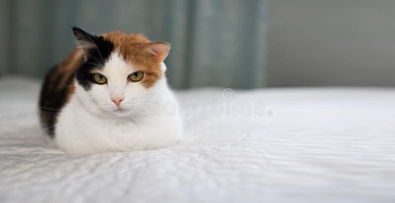 En härlig kvinnlig katt, med tre färger som ligger på lagledaren royaltyfri fotografi