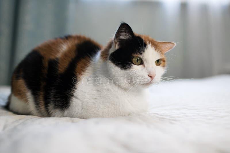 En härlig kvinnlig katt, med tre färger som ligger på lagledaren arkivbild
