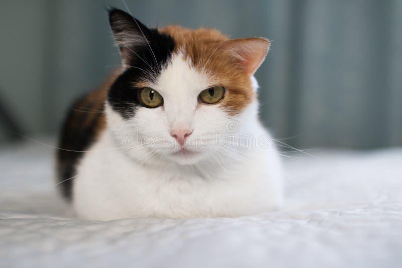 En härlig kvinnlig katt, med tre färger som ligger på lagledaren arkivfoton