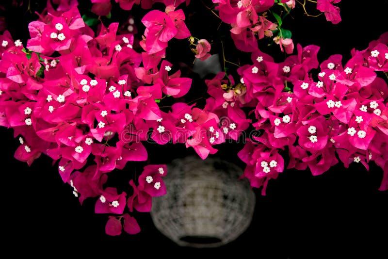 En härlig ljus bougainvillea hänger från en korg arkivfoton