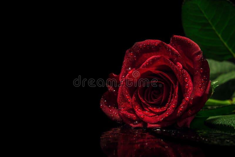 En härlig lynnig röd ros med vattensmå droppar/regn tappar på svart reflekterande yttersida och svärtad ut bakgrund arkivbilder