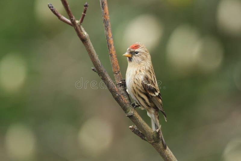 En härlig manlig Lesser Redpoll Carduelis kabaret sätta sig i ett träd arkivbild