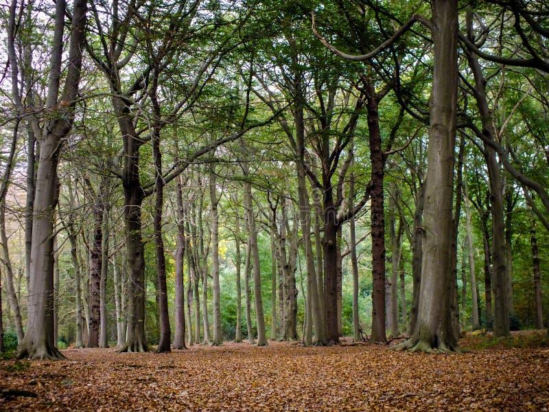 En härlig matta av bokträdsidor runt om träden i höst royaltyfria foton