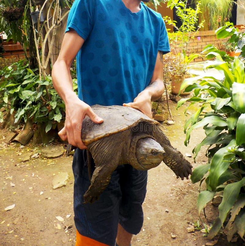 En härlig och stor låsande fast sköldpadda arkivbilder